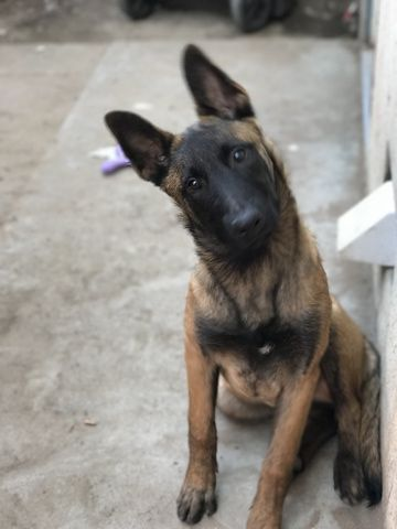 Belgian Malinois Puppy For Sale In Manteca Ca Adn 25763 On