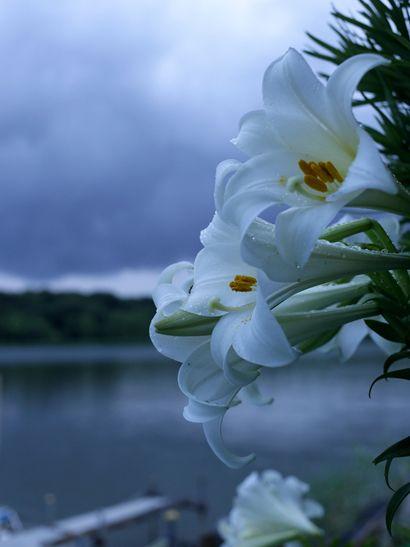 Lake Sanaru, Hamamatsu-city, Japan. 佐鳴湖 佐鳴湖畔のササユリ Blue lily