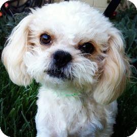 Santa Cruz Ca Poodle Toy Or Tea Cupshih Tzu Mix Meet Tutu A