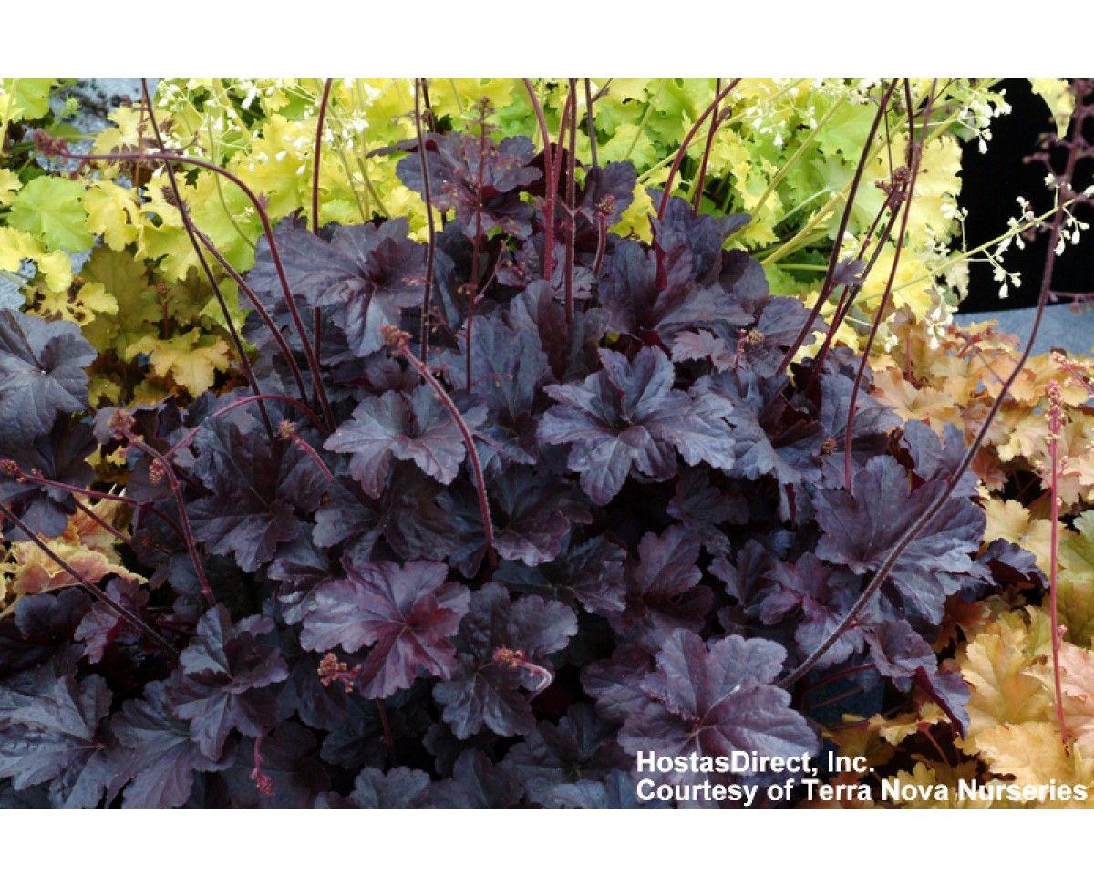Heuchera Obsidian Ps Low Height Woodward Garden Pinterest