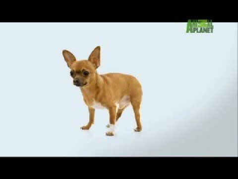 Chihuahuas 101 Animal Planet I Have A Chihuahua Mix Who Is So