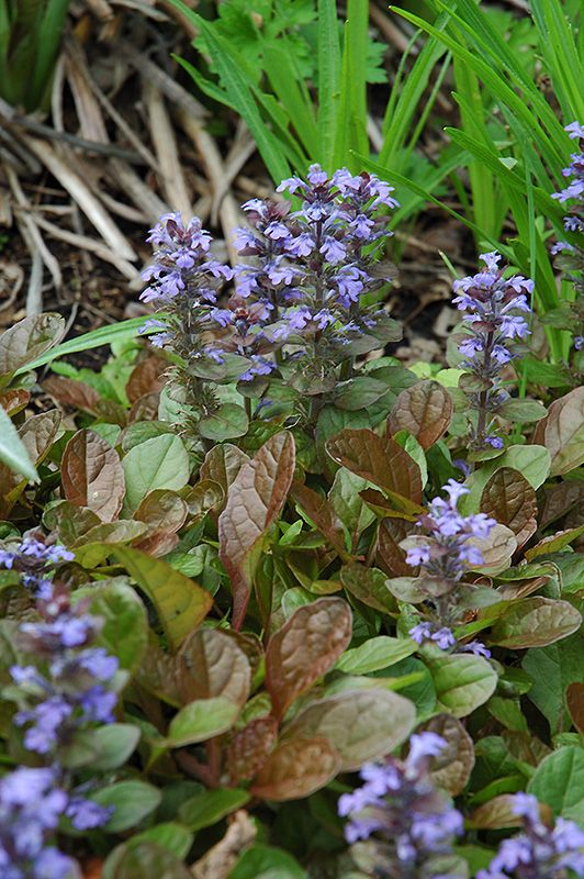 Caitlin S Giant Bugleweed Ajuga Reptans Caitlin S Giant At Salisbury Greenhouse And Landscaping Plants Shade Perennials Perennial Garden