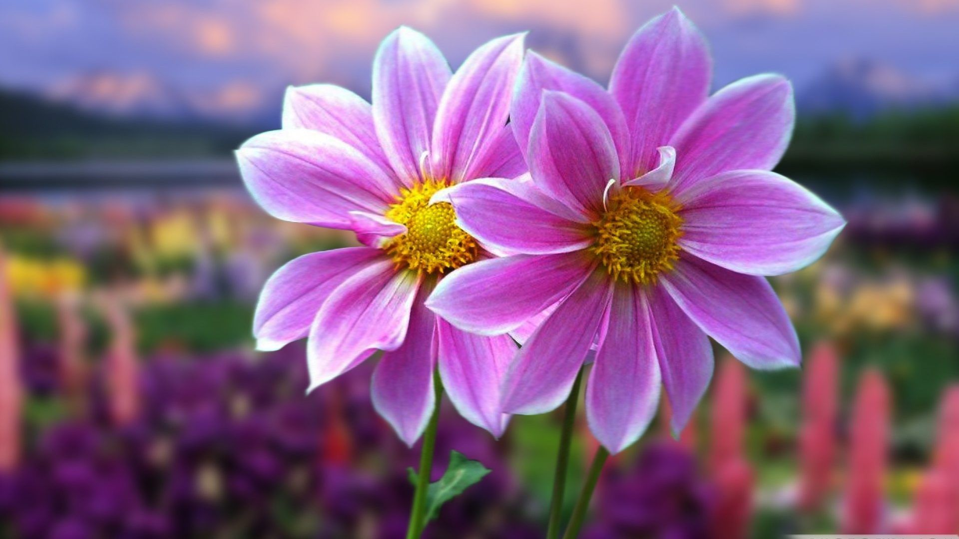 Xinature dahlias field flowers purple beautiful awesome xinature dahlias field flowers purple beautiful awesome nature mauve color flower wallpapers hd voltagebd Choice Image