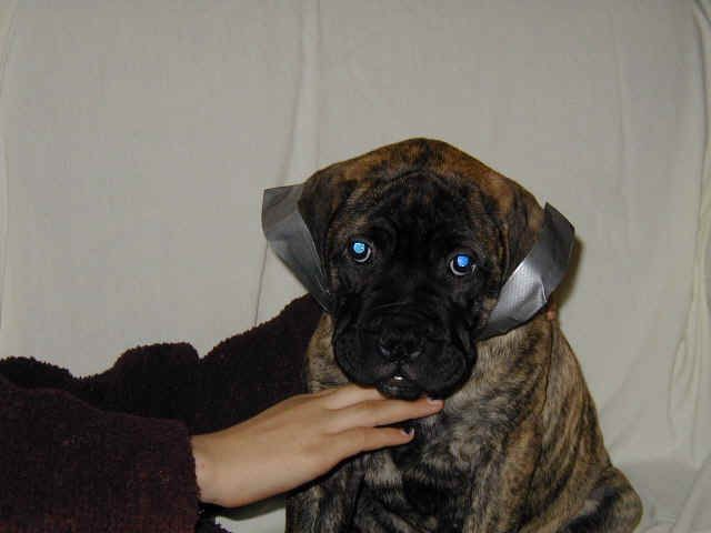 Gentle Way To Tape Bullmastiff Ears To Look Right Ear Dogs