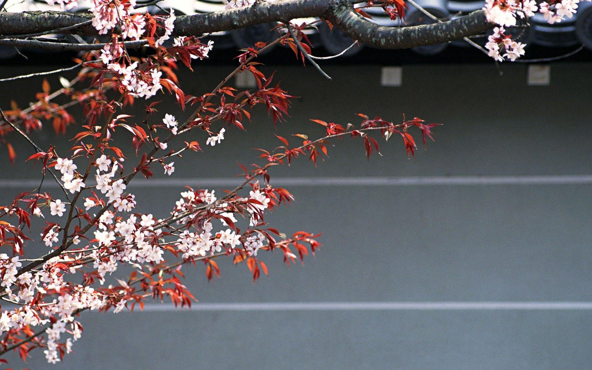 Japan cherry blossoms flowers (1920x1200, cherry, blossoms, flowers)  via www.allwallpaper.in