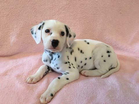 Litter Of 8 Dalmatian Puppies For Sale In Connellys Springs Nc
