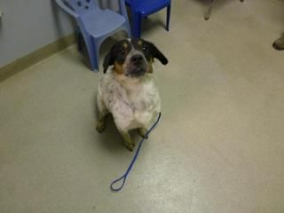 Bert Cattle Dog Beagle Available For Adoption In Watertown Ny