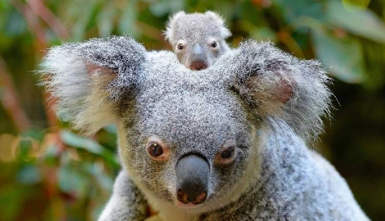 Super Cute Baby Koala On Head Of His Mom Baby Koala Koala Baby Animals