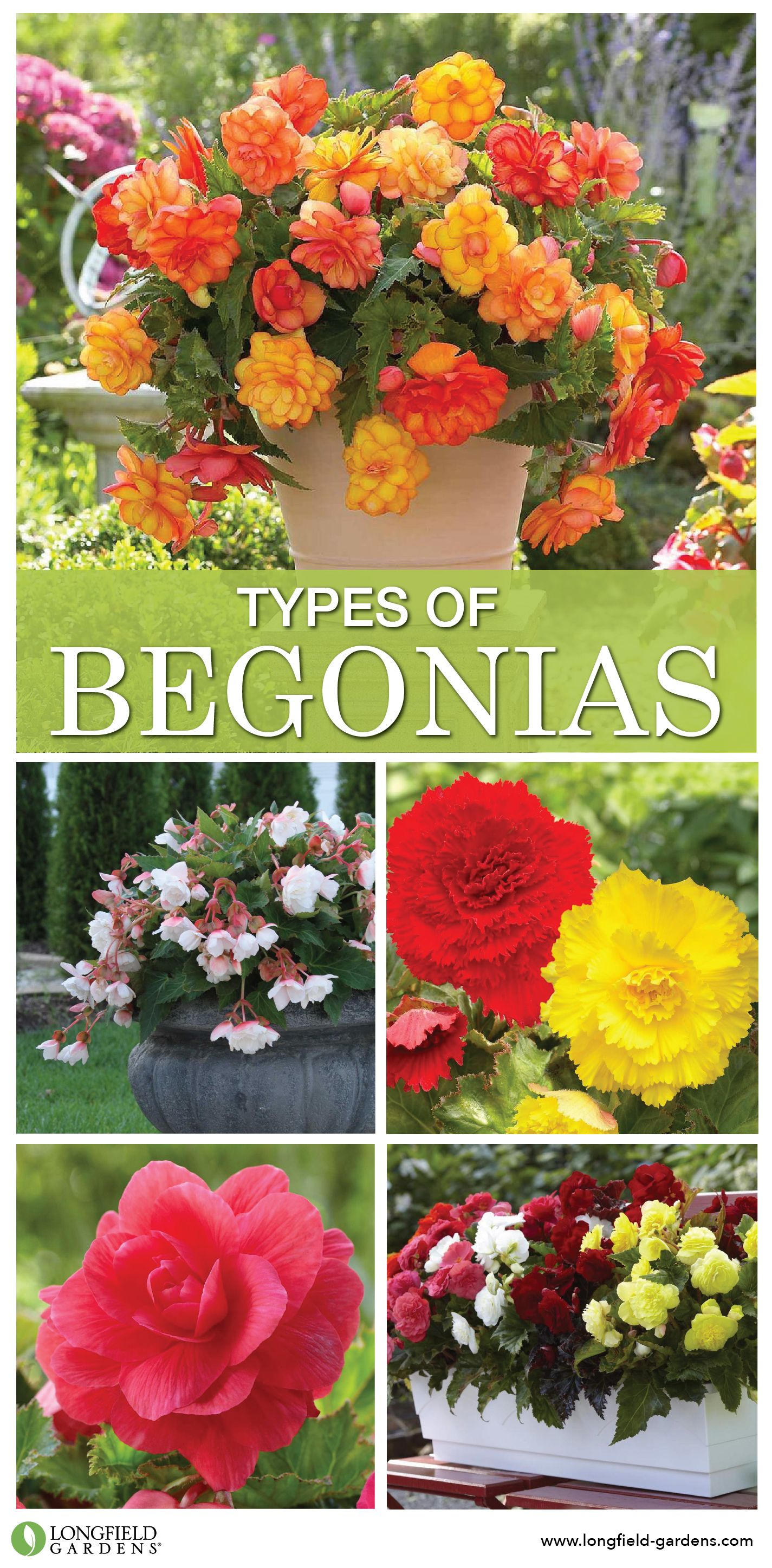 Tuberous Begonias Make It Easy To Add Splashes Of Bright Color To Shady Gardens And Containers The Plants Begi Tuberous Begonia Shade Plants Container Begonia