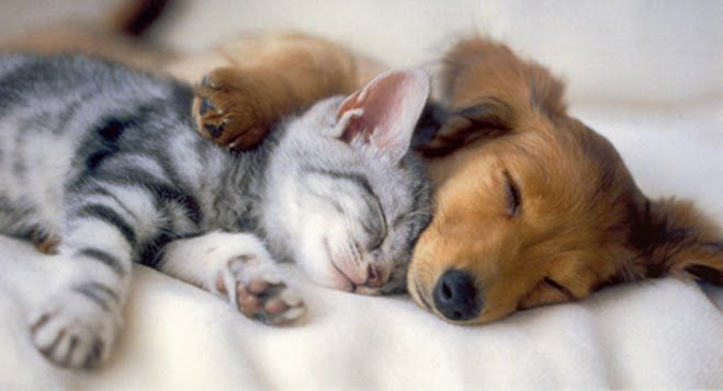 dachshund pup and kitty.