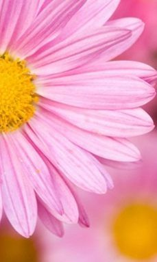 Iphone 6 Pink Daisy Wallpaper Bing Images Pink Daisy Wallpaper