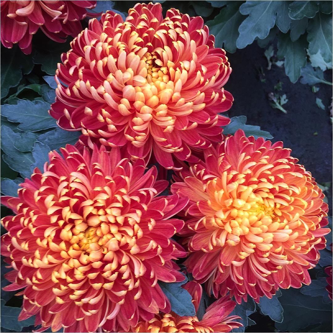 chryzantema wielkokwiatowa (Dendranthema grandiflora)