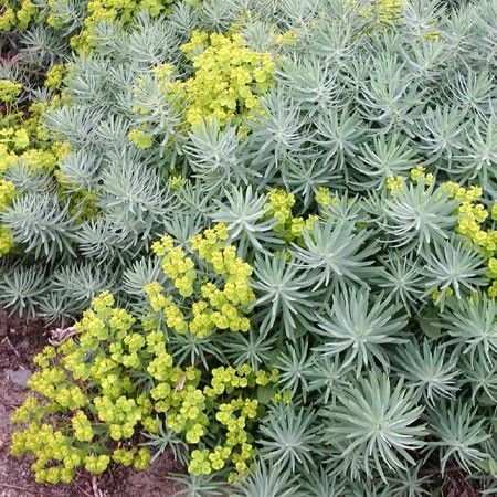 euphorbia copton ash plantes pour talus pinterest plante pour talus talus et belle plante. Black Bedroom Furniture Sets. Home Design Ideas