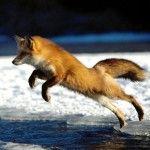 تحميل أحلى صور الثعلب صور ثعلب حلوة Pet Fox Fox Pictures Fox Running
