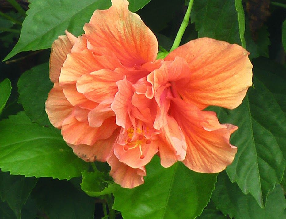 Hibiscus Double Peach Has Beautiful Deep Forest Green Glossy Foliage With A Dense Tight Growth Habit The Flowe Hibiscus Plant Hibiscus Rosa Sinensis Hibiscus