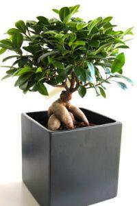Ficus Ginseng Taille Arrosage Et Conseil D Entretien Ficus