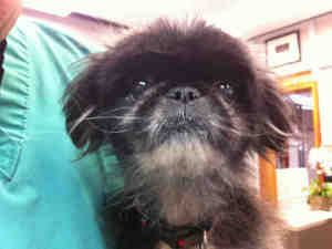 BUNNY is an adoptable Pekingese Dog in Palo Alto, CA.  ...�650-496-5971 Pet ID: A110370