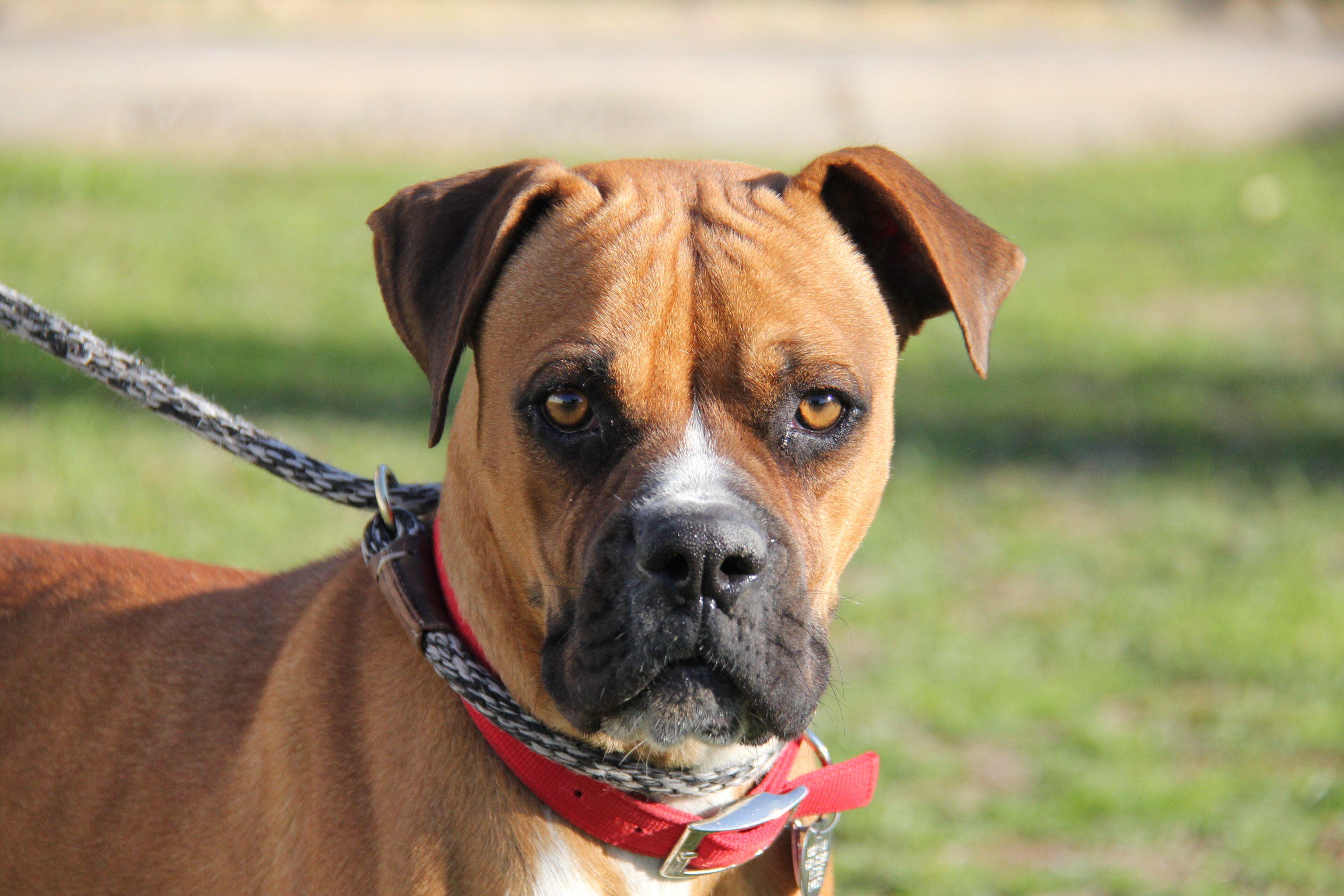 Boxer dog for Adoption in Phoenix, AZ. ADN825022 on