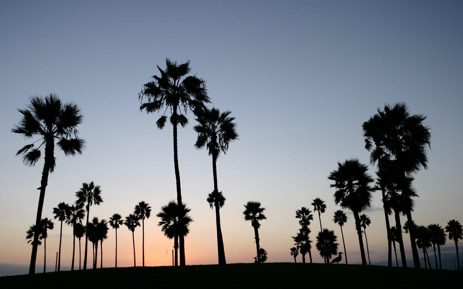 Venice Beach Palm Tree Silhouette Tree Silhouette Wallpaper Beach Wallpaper