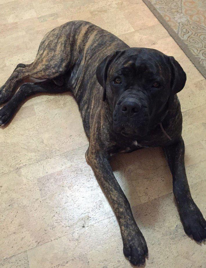 Lost Dog Cane Corso Mastiff Williston, FL, United
