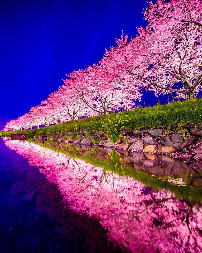 Cherry Blossoms In Fukuoka Japan Beautiful Nature Flower Art Cities City Travel Beautiful Nature Fukuoka Japan Japan