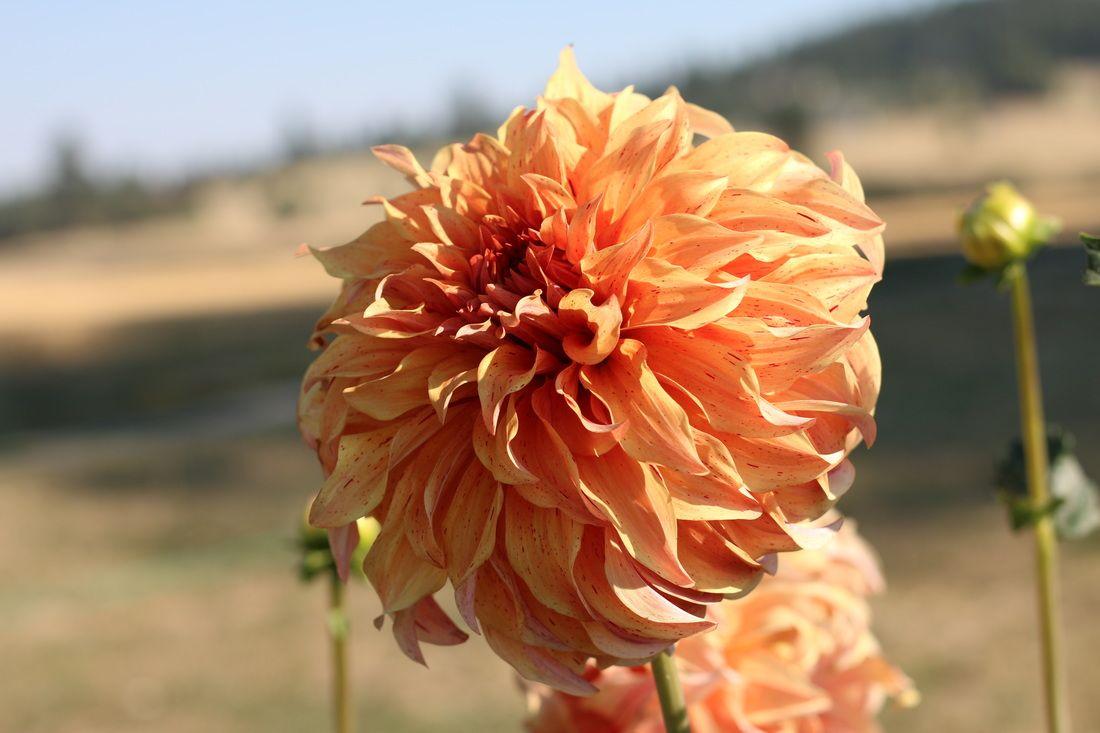 Dahlia List Dahlia Plants Color