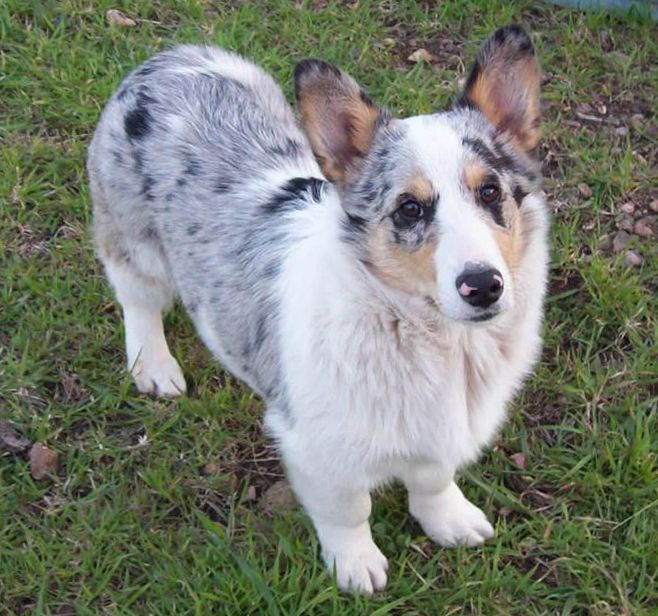 Corgi Australian Shepherd Mix Google Search Corgi Mix Corgi