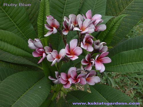 Ruby Blue plumeria | Flickr - Photo Sharing!