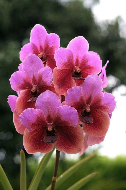 Orquideas vivero del valle ginebra colombia for Vivero plantas exoticas