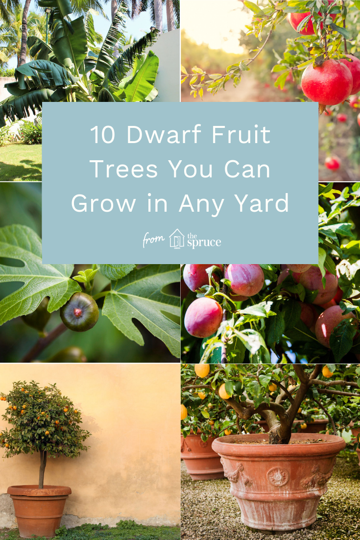 If You Have A Small Garden It Is Not Practical For You To Grow Large Trees But That Doesn 39 T Mean You Can In 2020 Dwarf Fruit Trees Small Fruit Trees Dwarf