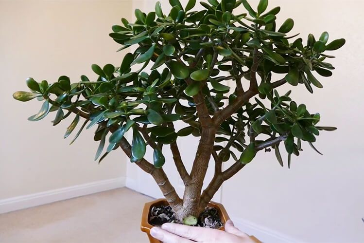Best Shade Plants For Sydney Gardens Mosarte Large Leaf Jades Are An Easy To Care For Succulent And Can Jade Plants Best Plants For Shade Jade Plant Bonsai