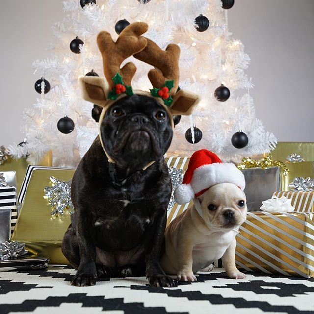 Leo and Big Sis decked out for Christmas,  French Bulldogs, @frenchieleo on instagram