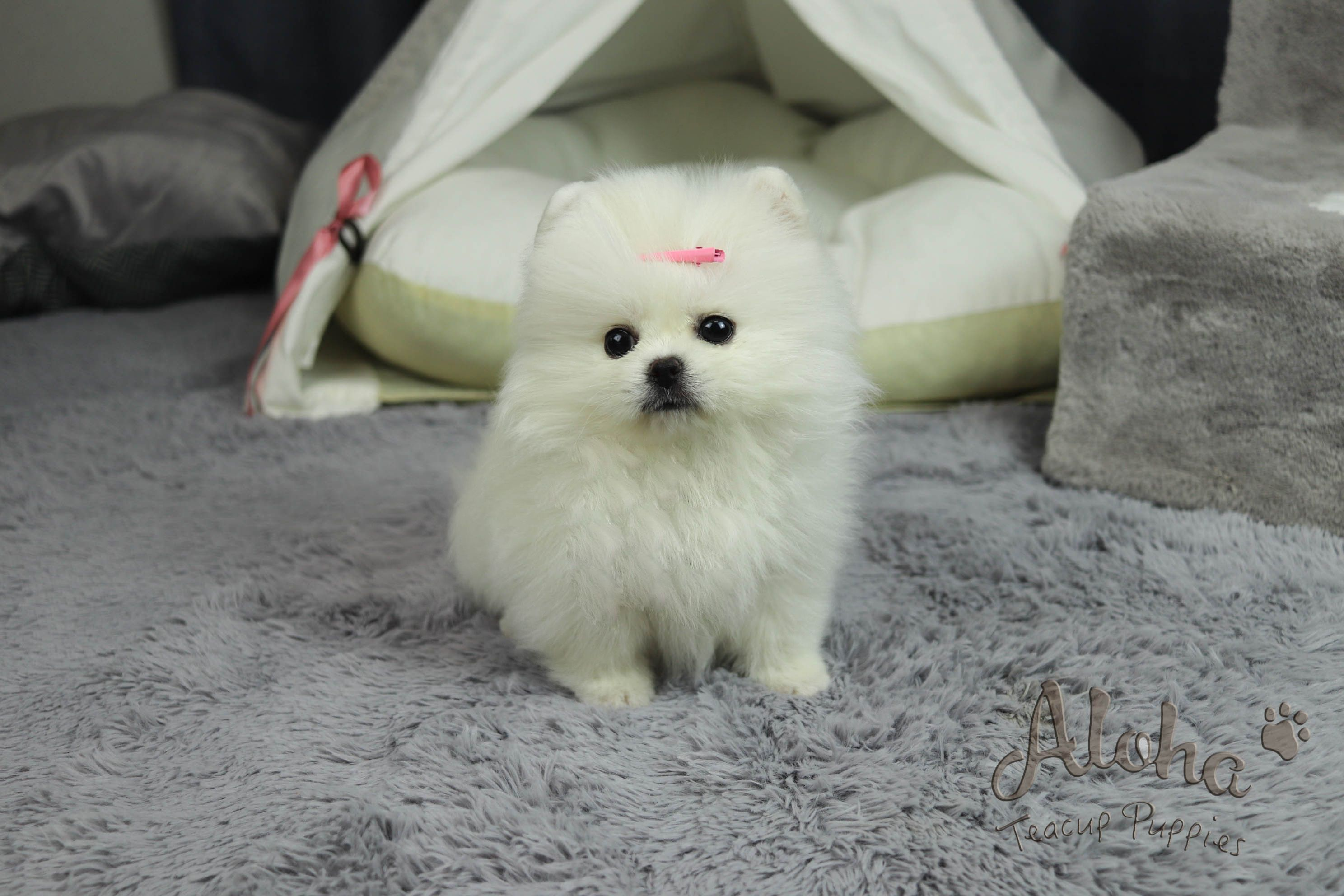 Cartier Teacup Pomeranian Female Ice White Big Eyes With