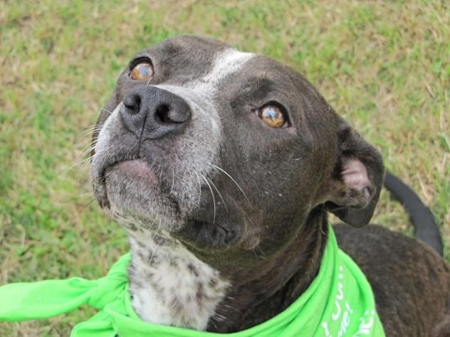 Adopt Zena on Pitbull terrier, Australian cattle dog