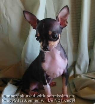 Chihuahua Dog Puppy Websites Chihuahua Love Chihuahua
