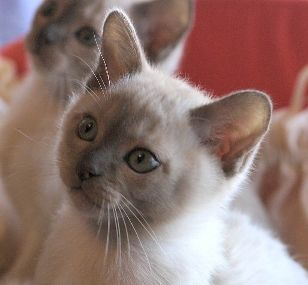 Cat Photos Burmese Cat Photos Burmese Kittens Burmese Cat
