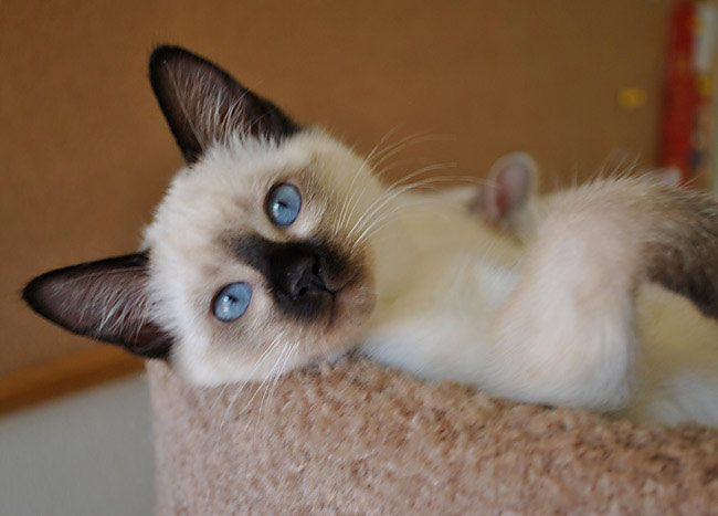 Baliwest Balinese Siamese Kittens For Sale Siamese