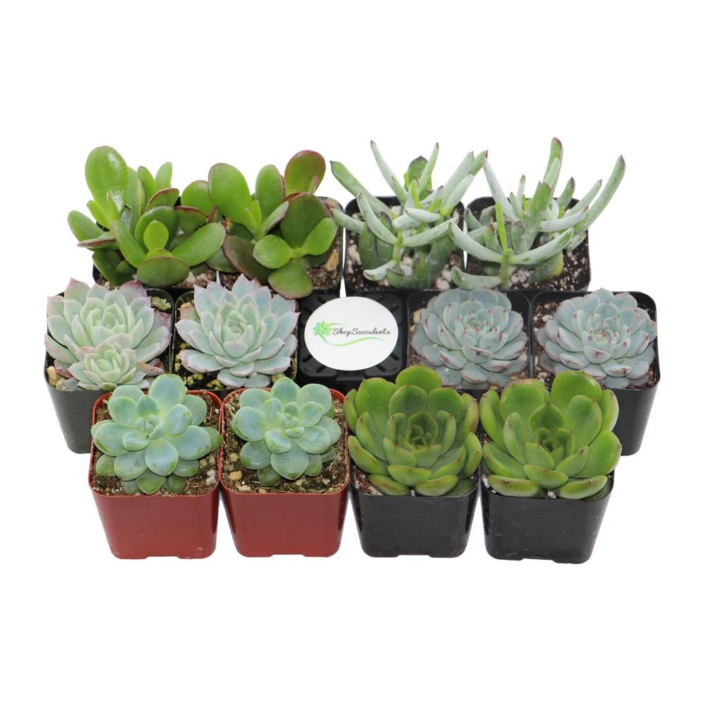 Home Botanicals 2 In Blue Green Collection Succulent Collection