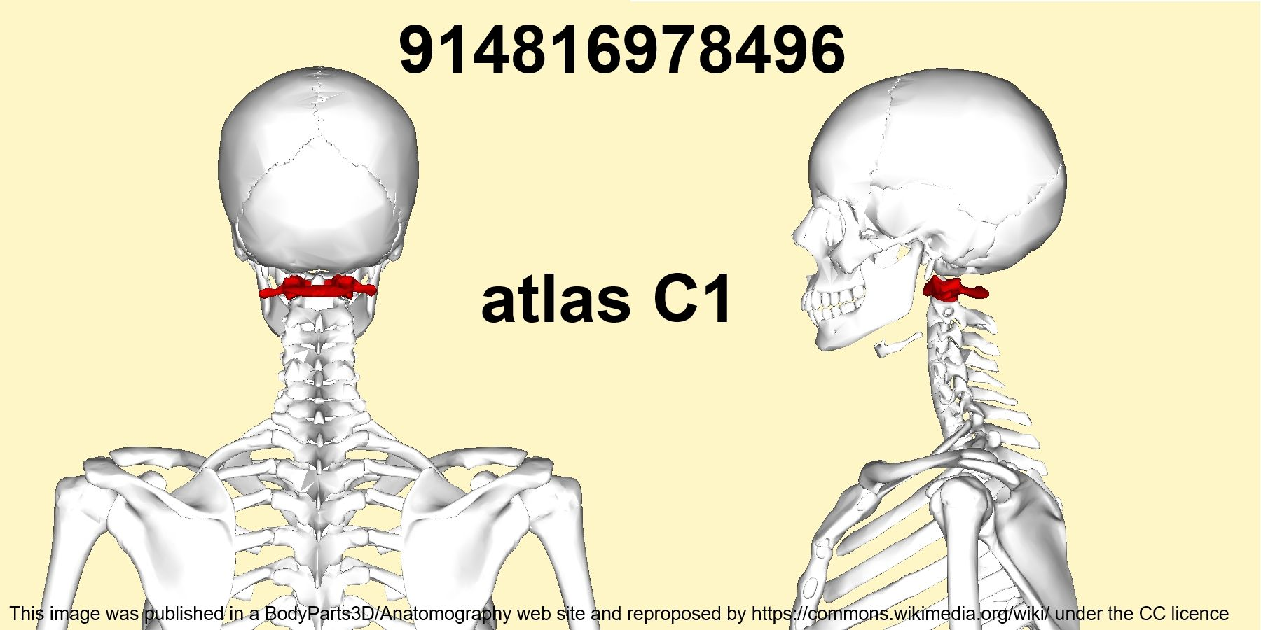 In anatomy, the atlas (C1) is the most superior (first) cervical ...