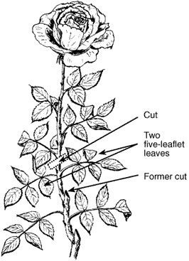Pruning Roses To Make New Blooms Rose Care Lawn And Garden Outside Plants