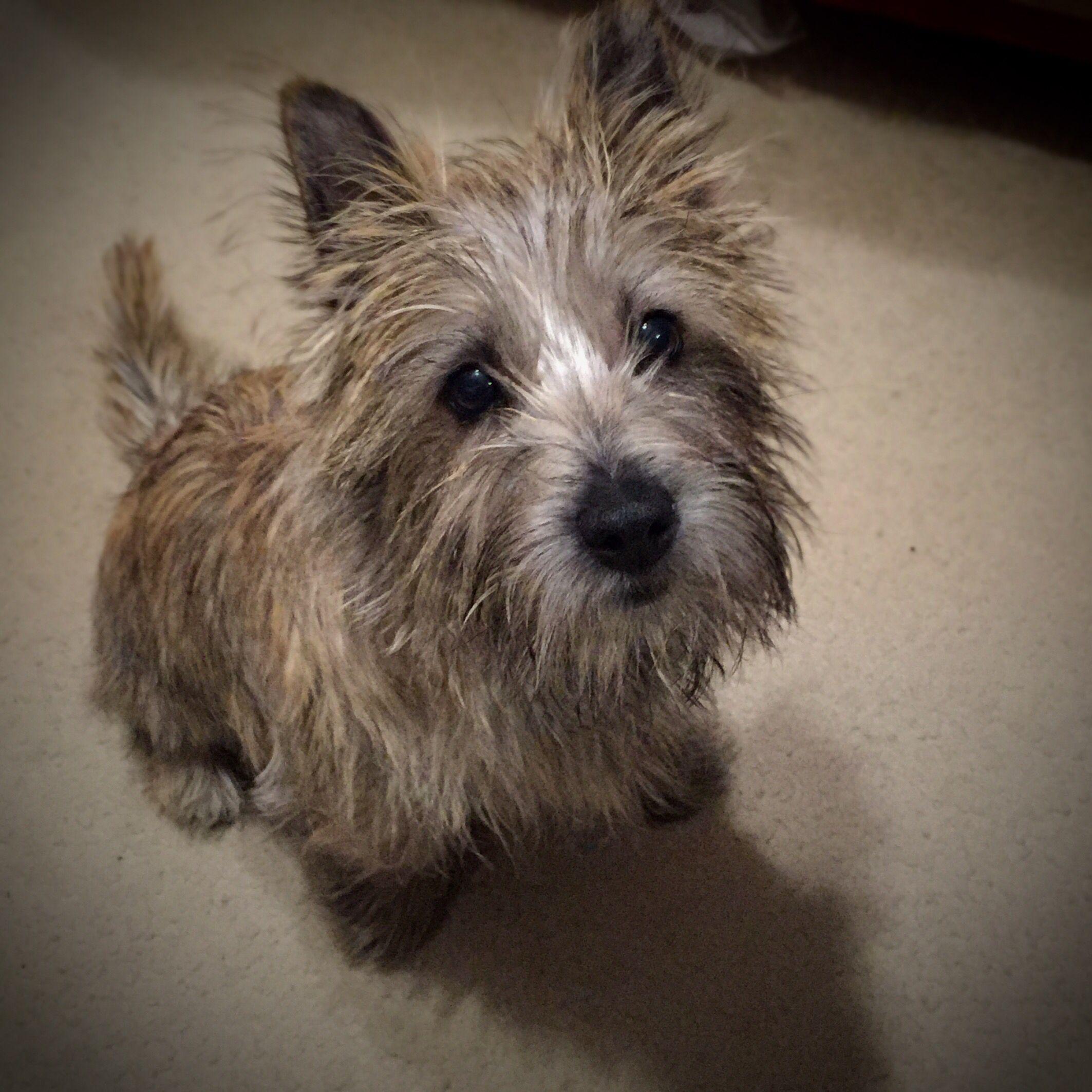 Brindle Cairn Terrier Cairn Terrier Glen Of Imaal Terrier Terrier Dog Breeds