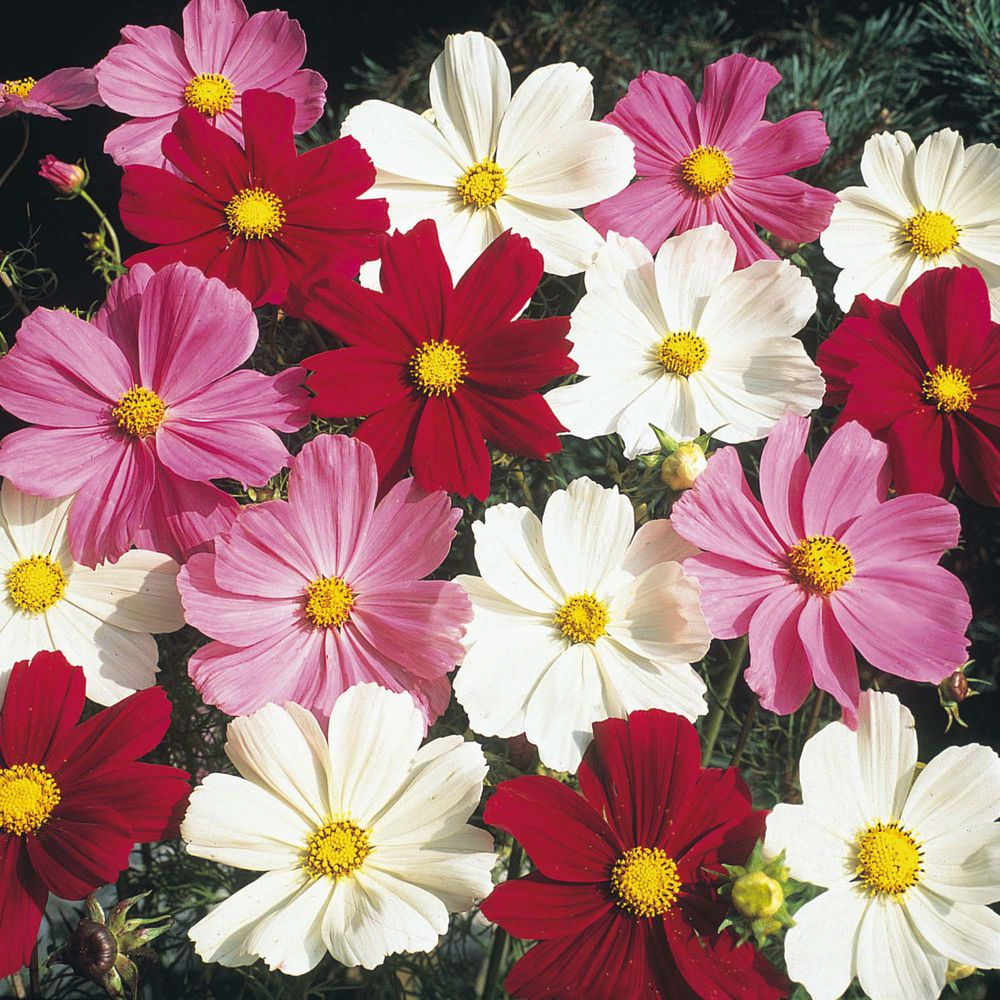 Cosmos Seeds Sensation Mix Easy Annual Cottage Garden Flower