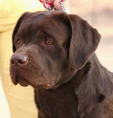 Lilac White English Labrador Retriever W Champion Bloodlines Labrador Retriever English Labrador Labrador