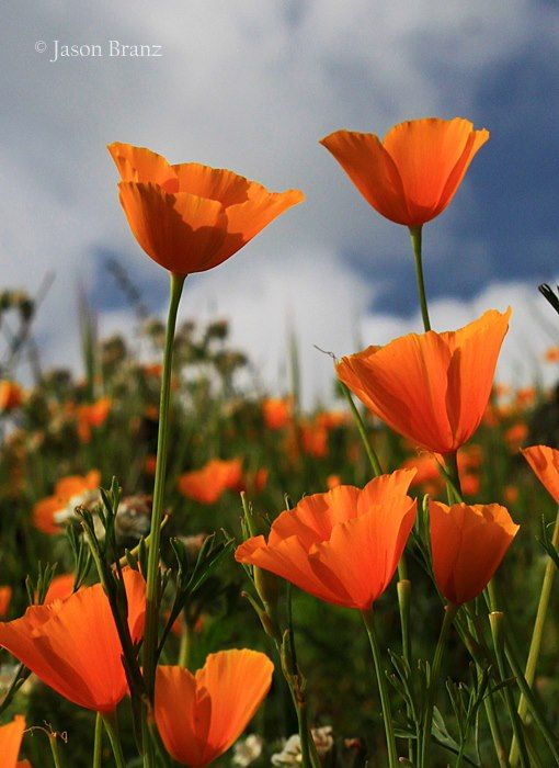 California Poppies I Usually See This In Fields More Inland Mohnblume Blumen Und Mohn