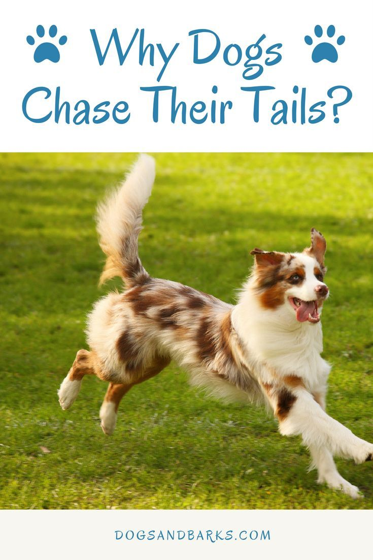 Have you ever wondered why your dog chases his tail? Well
