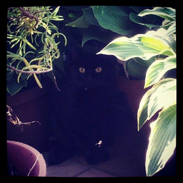 おはようございますにゃ~(^-^)vRT @ViaGiulia_G4 いたいた。来たね。おはよー。 #neko  #cat  #blackcat  #kuroneko http://t.co/RFNy3978