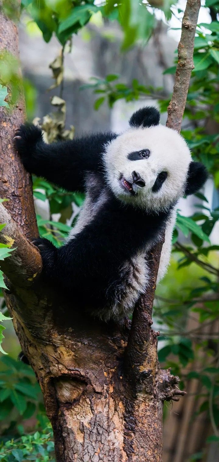 Every one likes the Giant 🐼 Panda Pandas have lived on