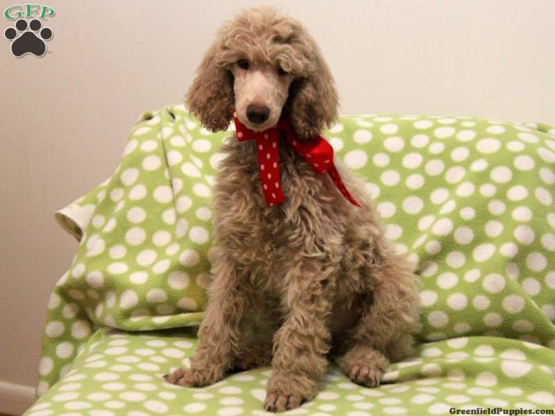 Caden Standard Poodle Puppy For Sale From Gordonville Pa