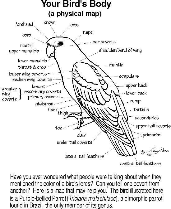 illustration of bird anatomy cockatiel pinterest anatomy and bird. Black Bedroom Furniture Sets. Home Design Ideas