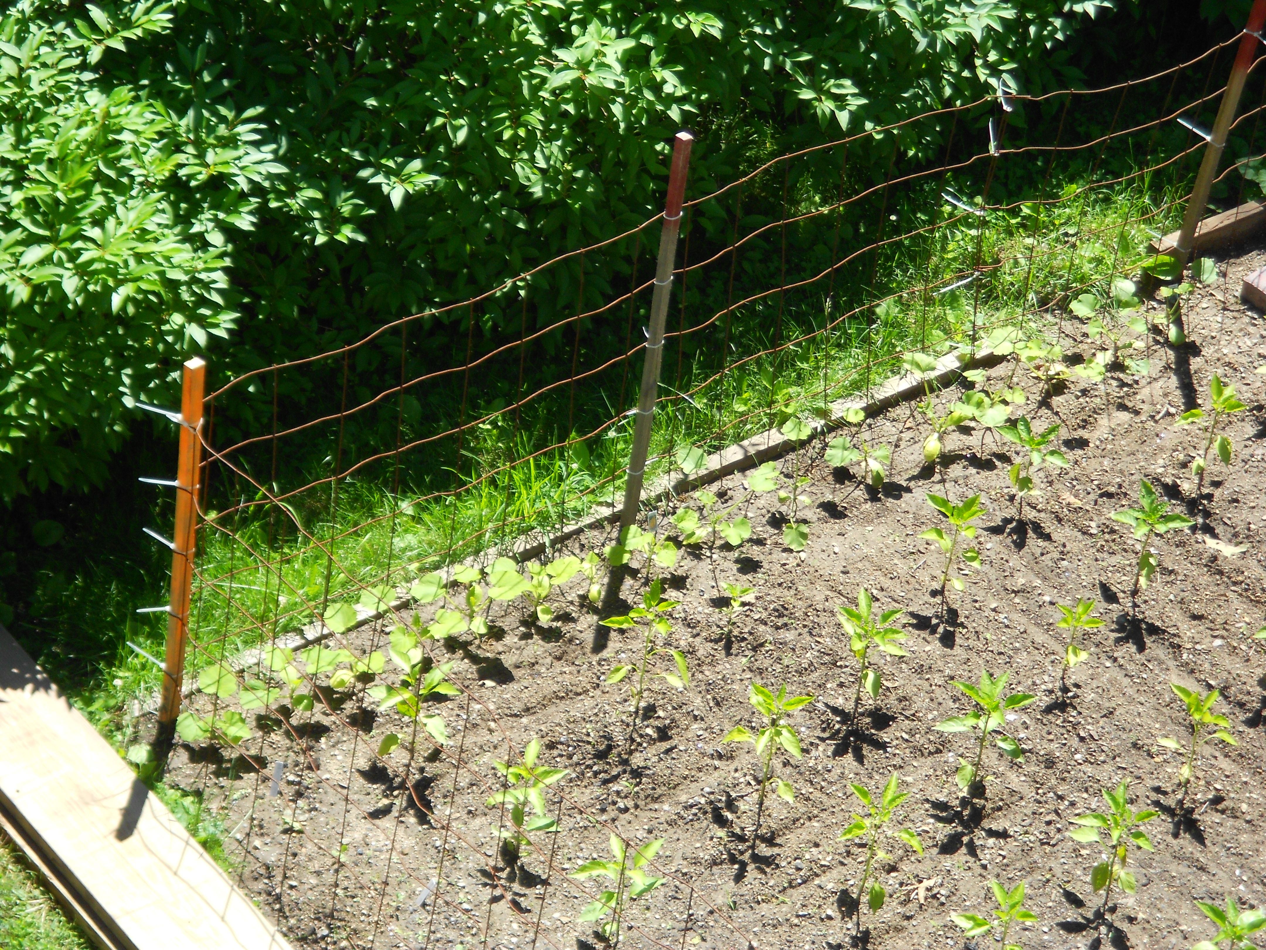 June 15: Zucchini and yellow squash climbing towards the fence.
